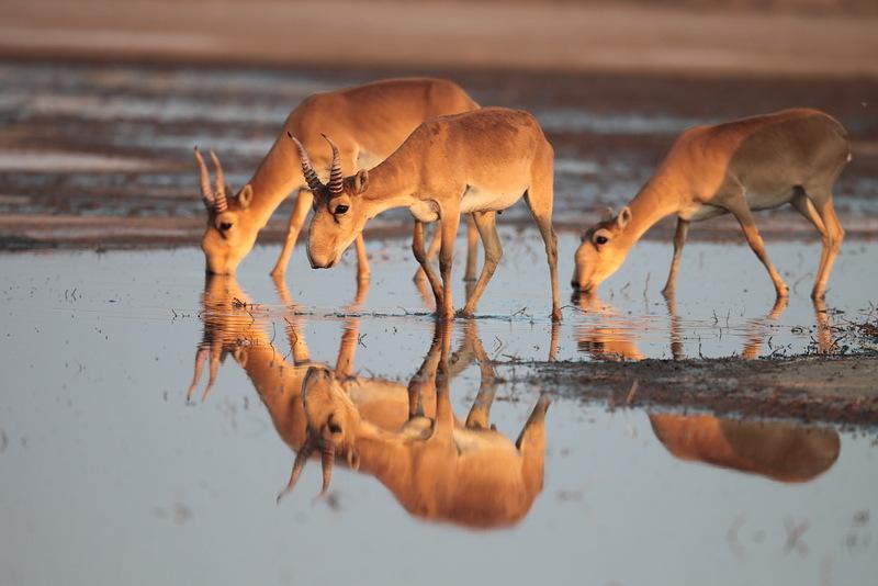 saiga antilopları kazakistan